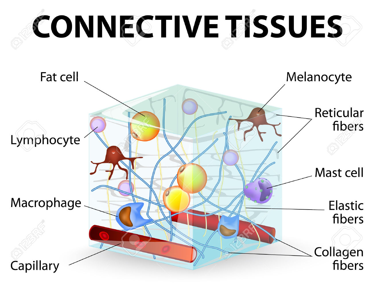 27898977-connective-tissue-that-supports-binds-or-separates-more ...